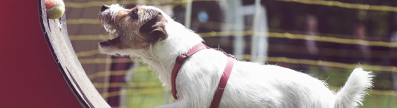 Flyball, un deporte divertidísimo para practicar con tu perro