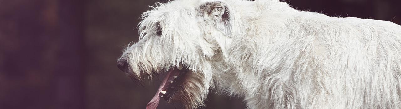Cómo actuar cuando nuestro perro sufre un atragantamiento