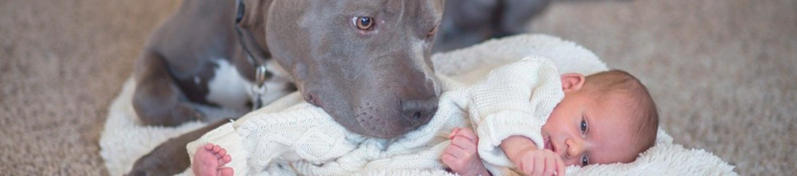 Zack, el pitbull que protegió los sueños de su pequeña dueña durante toda su vida