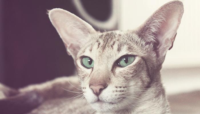 gatos oriental