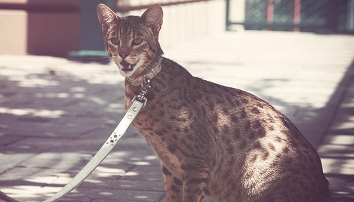 gatos Savannha o Ashera