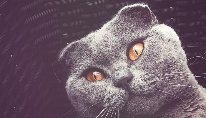 gatos Scottish Fold