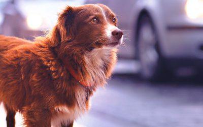 ¿Qué pasa cuando se pierde una mascota identificada?